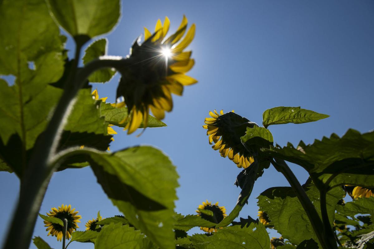 Sunflowers The Garden S Late Summer Stars Lifestyle Gazette Com