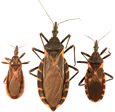 kissing bug.png