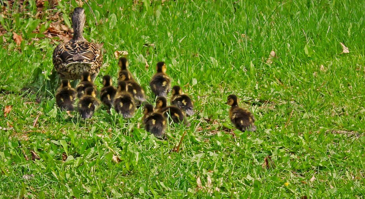 St  Paul neighbors rescue ducklings - again | Colorado