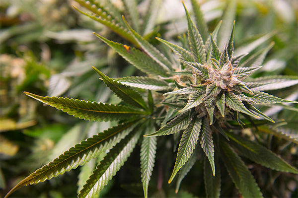 Politics of Pot: Colorado Law