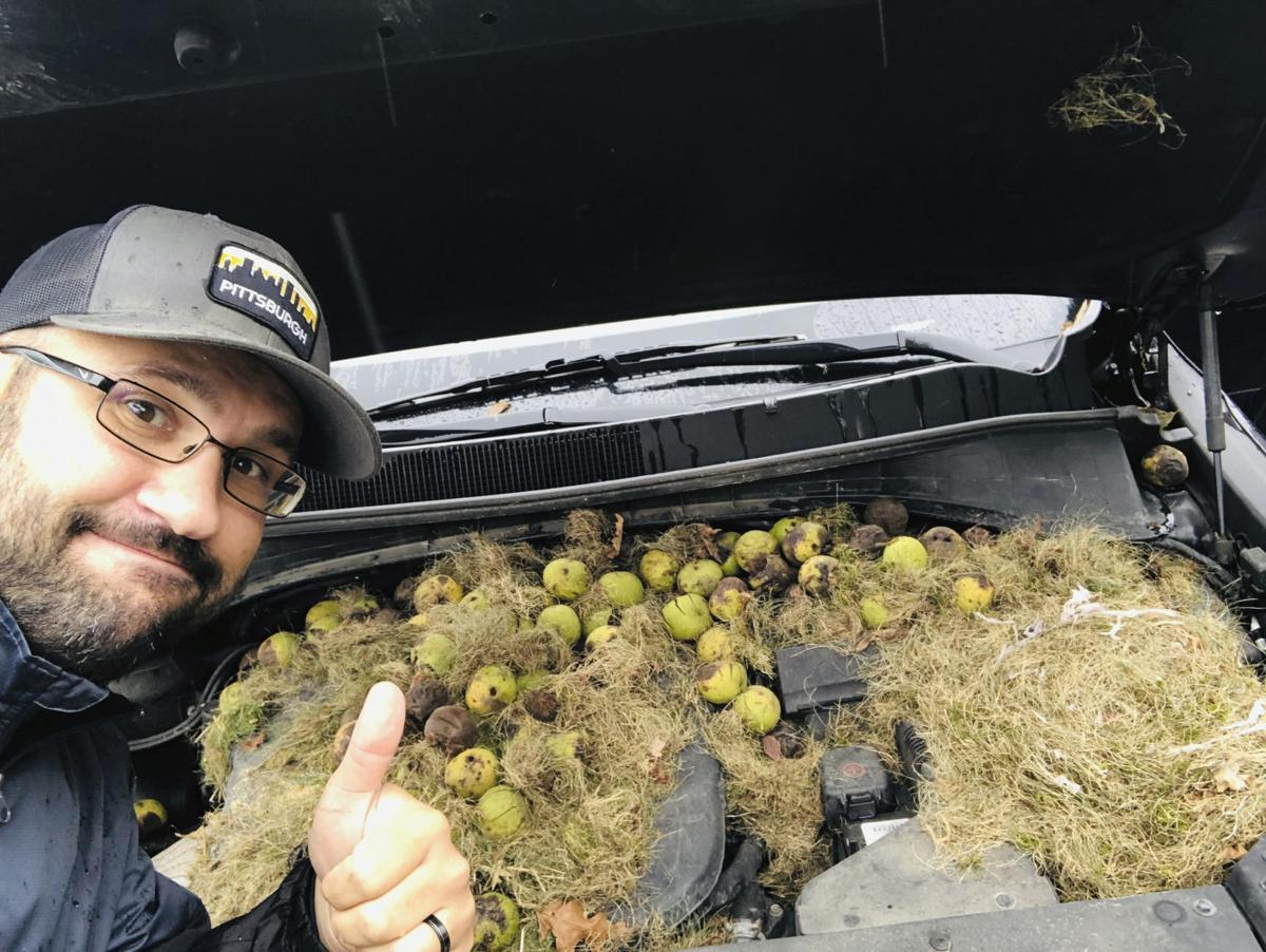 Squirrels hide more than 200 walnuts under SUV's hood