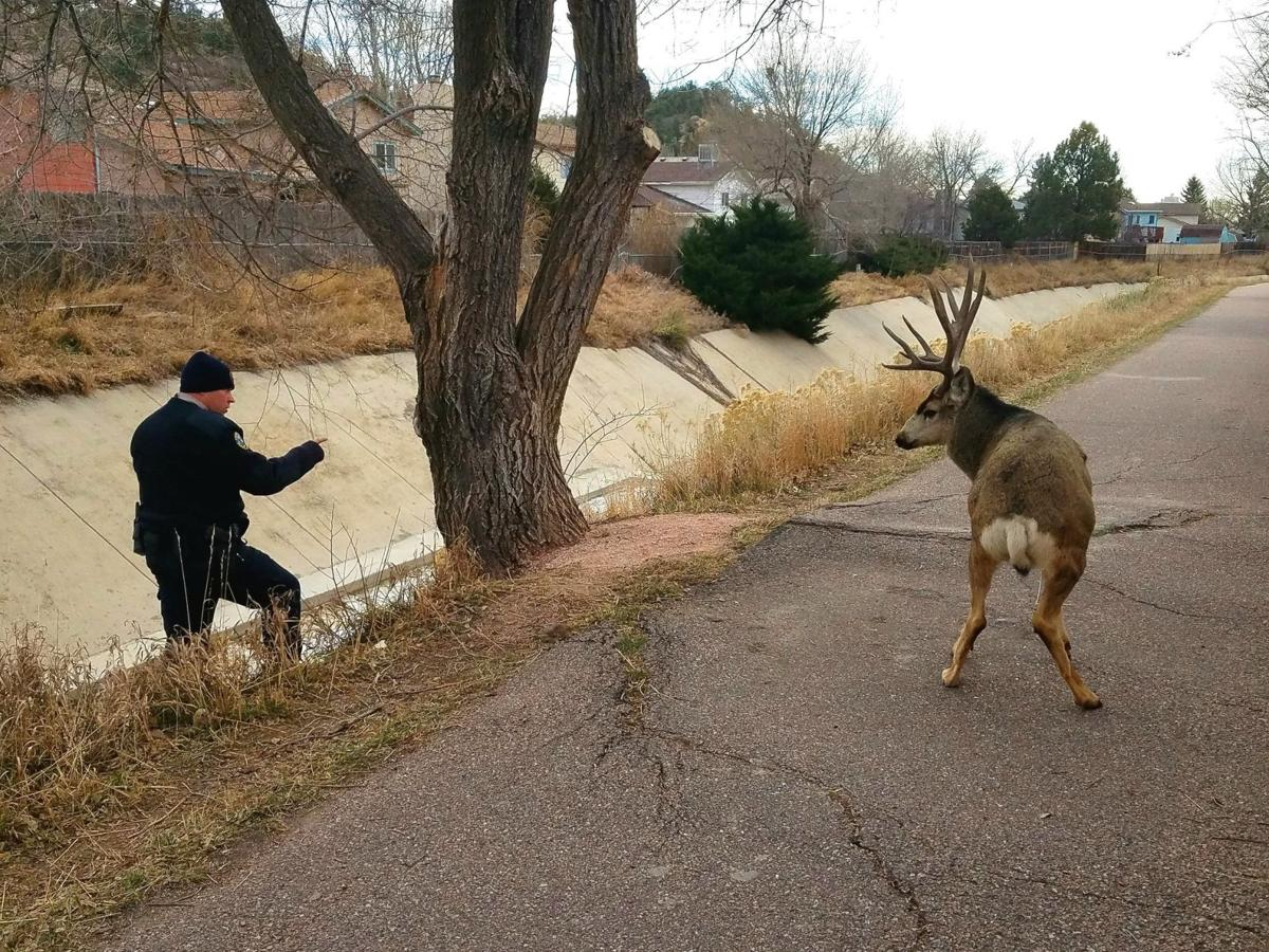 CPW rescues buck forced into culvert