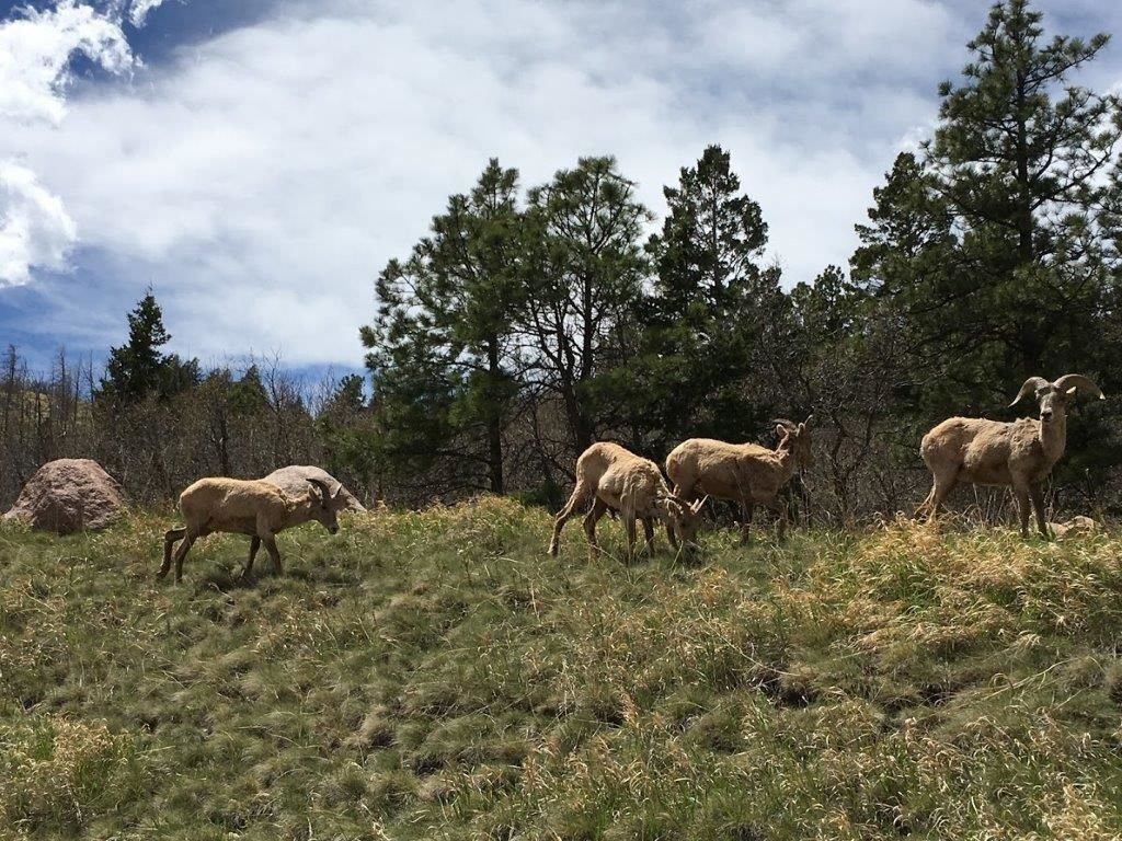 Bighorn sheep wander through Blodgett Open Space.
