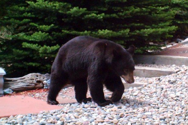 Bear chases cyclist in Waterton Canyon; area closed to public