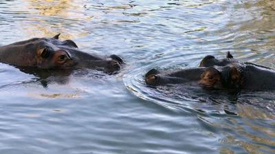 CMZoo Water's Edge Africa Nile Hippos in Water