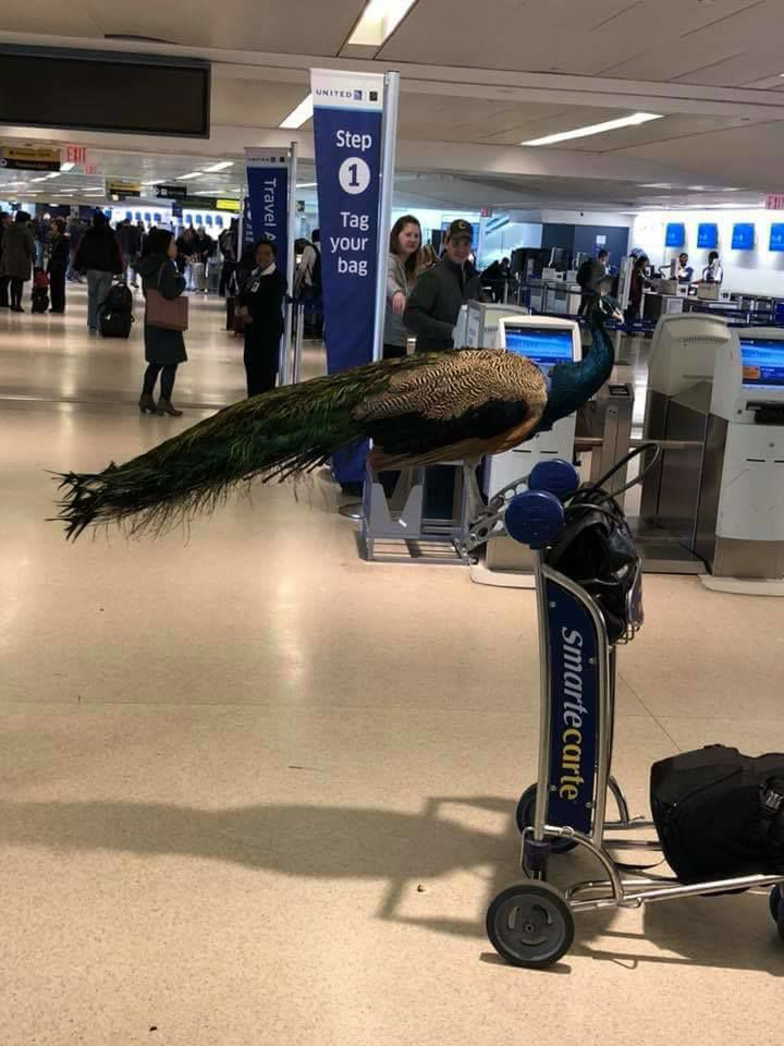 A woman tried to board a plane with her emotional-support peacock. United wouldn't let it fly.