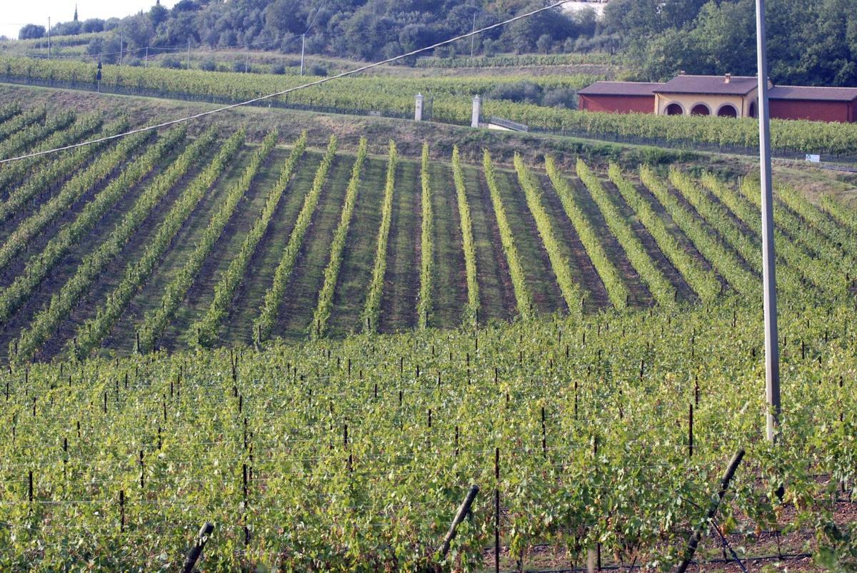 Italy Wine Harvest
