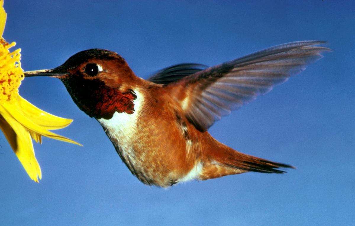 RufousHummingbird Male+.jpg