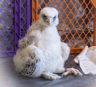 Air Force Falcons falcon
