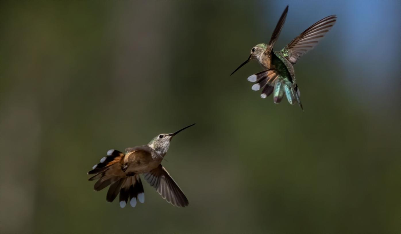 Dancing Hummingbirds