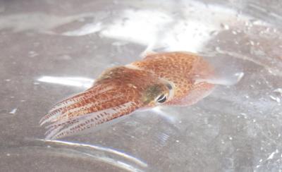 NASA sends Hawaiian squid into space