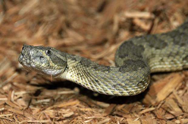 New drug could stall deadly symptoms of rattlesnake bite
