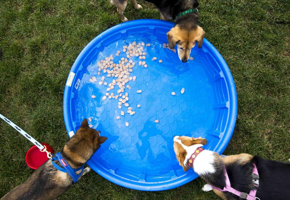 Derby, top, Django, left, and Molly fish for hot dogs in a pool full of water at Pawtoberfest 2017 in Bear Creek Regional Park in Colorado Springs, Colo. on Saturday, Sept. 16, 2017. Molly is a veteran hot dog retriever and has been to three Pawtoberfests, while Derby and Django moved to Colorado Springs one year ago.  (The Gazette, Nadav Soroker)