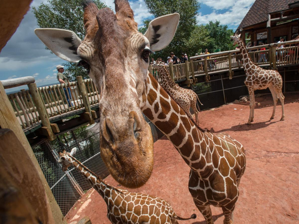 A giraffe watches visitors Wednesday, Aug. 6, 2014, at the Cheyenne Mountain Zoo. The Colorado Springs zoo was recently ranked No. 5 in the United States by TripAdvisor, the world's largest travel website. (The Gazette, Christian Murdock)