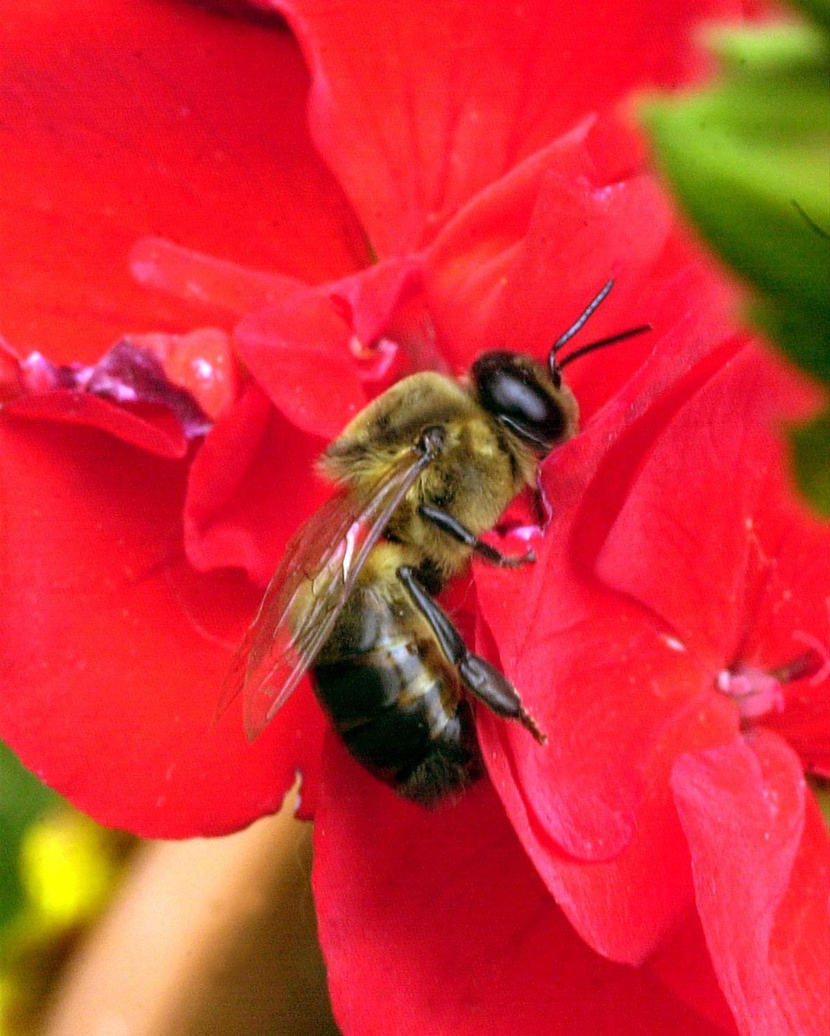 6_19_01 L Honey bees9.jpg