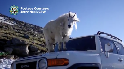 Mountain goat jumps on roof of car at popular Colorado 14er