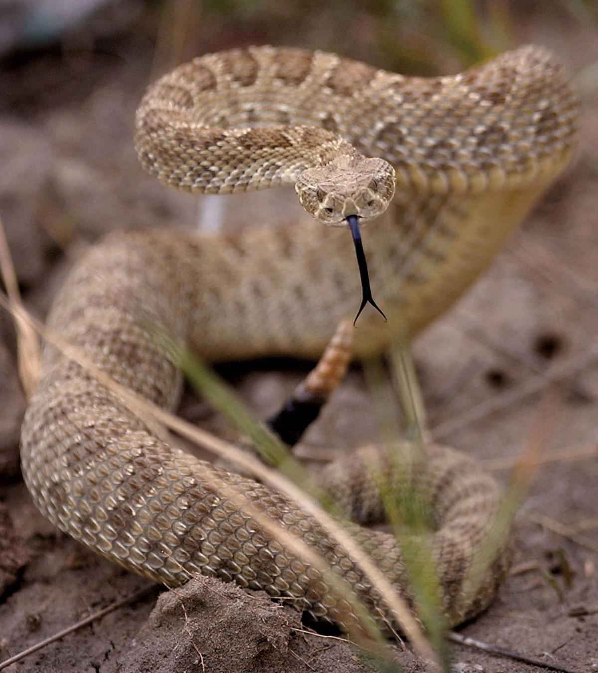 Rattlesnakes In Colorado Map.Two Rattlesnake Bites In Three Days In Colorado Springs Parks Signal