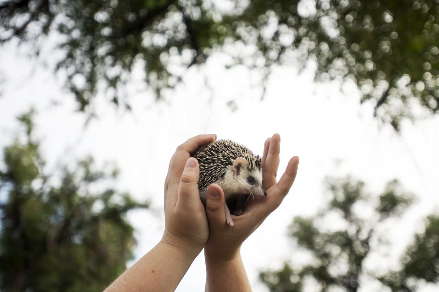 082921-life-hedgehogs 07