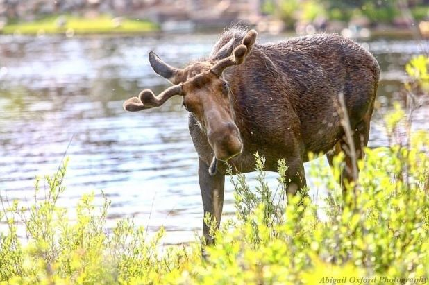 moose Grand Lake Teller County