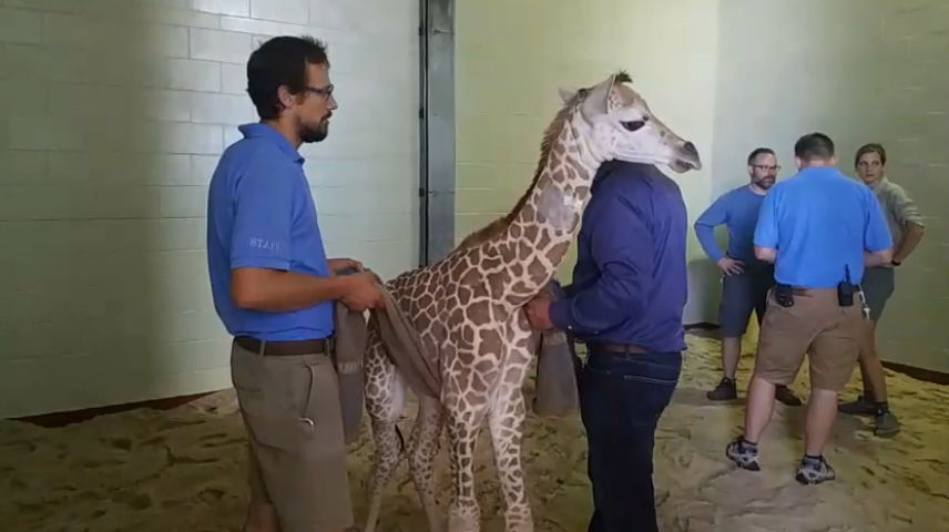 Cheyenne Mountain Zoo's baby giraffe back on her feet after health scare