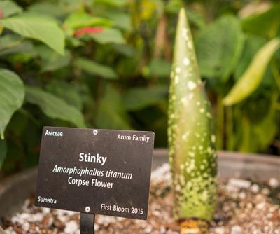 Stinky Corpse Flower Might Bloom At Denver Botanical Gardens Next Month Colorado Springs News Gazette Com