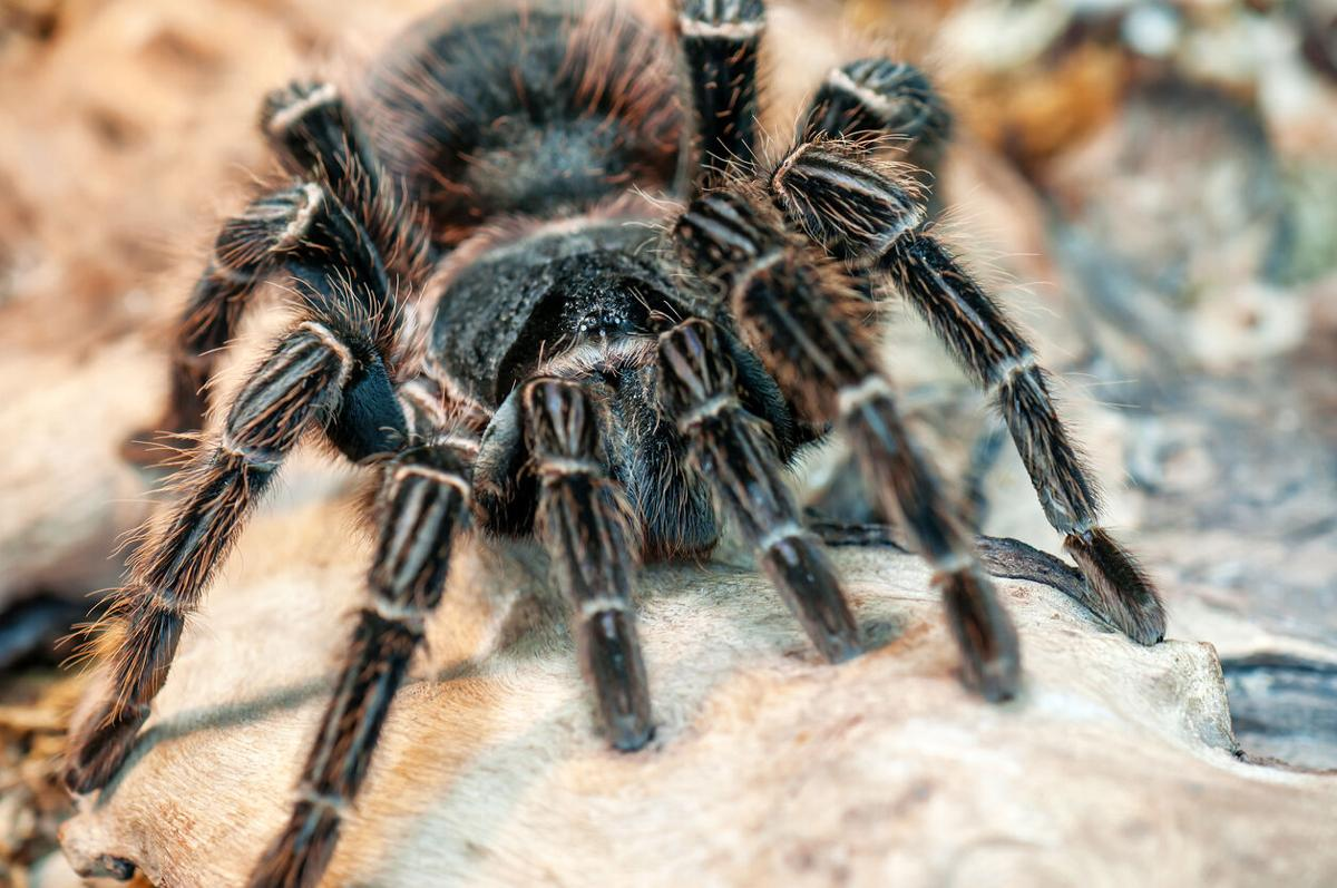 Thousands of tarantulas are now on the move in Colorado