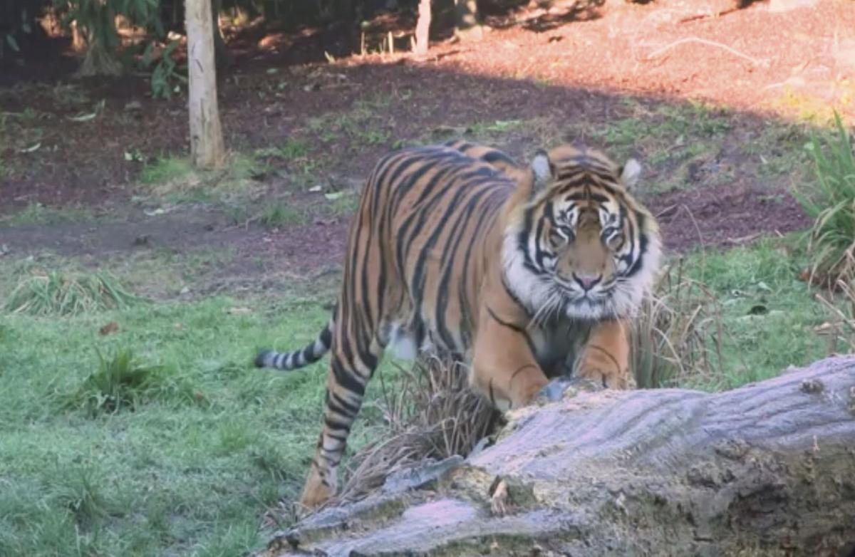 Britain Tiger