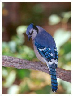 122918 bird blue jay.jpg