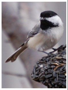122918 bird chickadee.jpg
