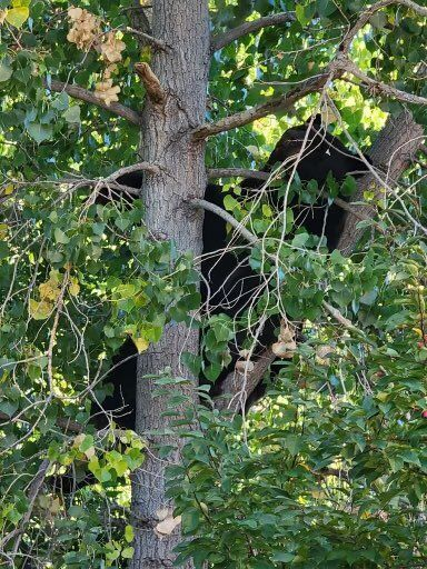 Bear in Castle Rock
