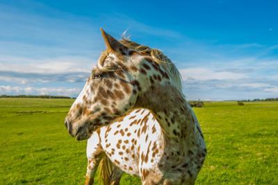 Camera Shy Appaloosa Horse