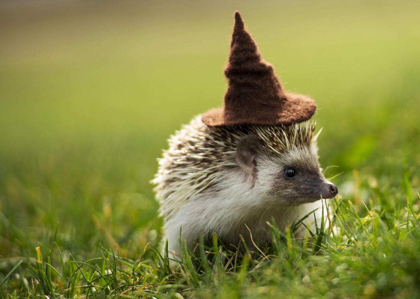 082921-life-hedgehogs 02