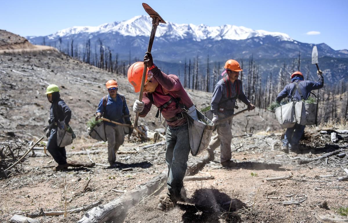 Pikes Peak Region Tree Planting An Effort To Fast Forward Nature Colorado Springs News Gazette Com