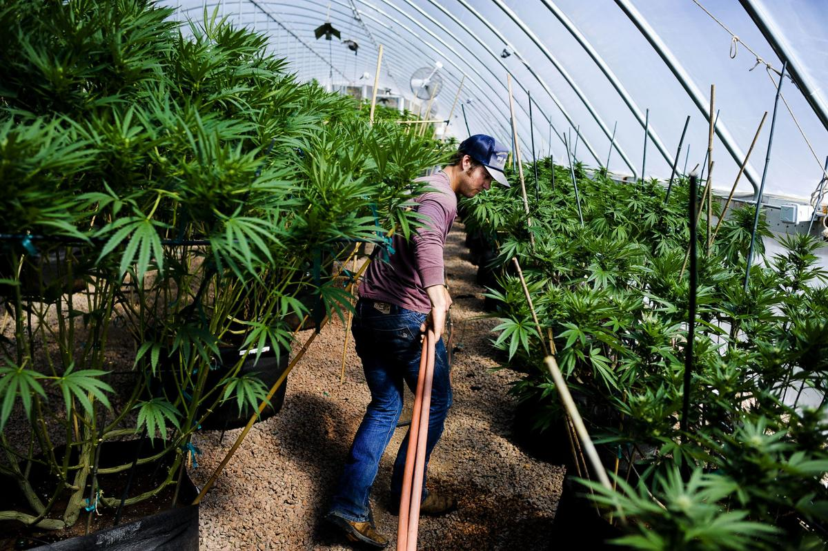 Pot with a purpose: Teller County brothers' marijuana grown for medical benefits
