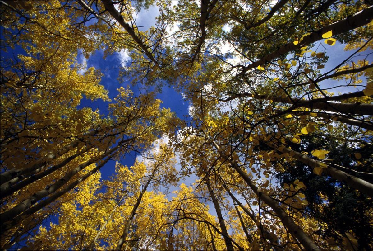 9/30/98 Aspen Trees