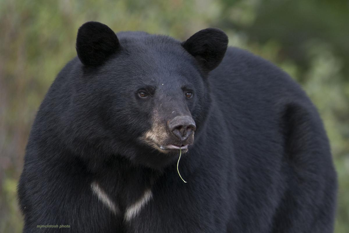 Colorado Parks and Wildlife has had to euthanize 14 bears this year