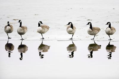 GEESE (copy)