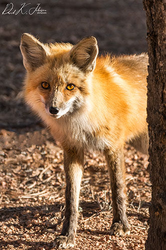 Getting familiar with local red foxes