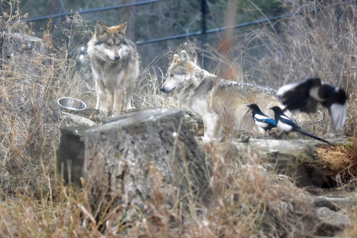 Litter of endangered Mexican gray wolf pups born at Cheyenne Mountain Zoo