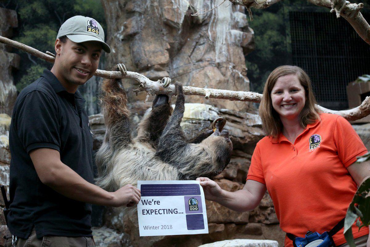 Denver Zoo expecting sloth baby by late February