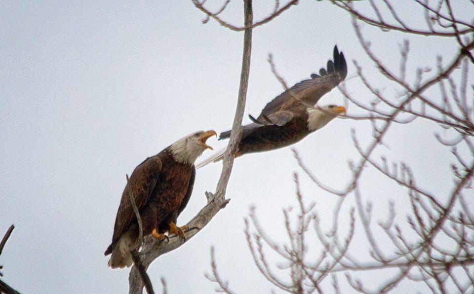Bald Eagles at Barr Lake