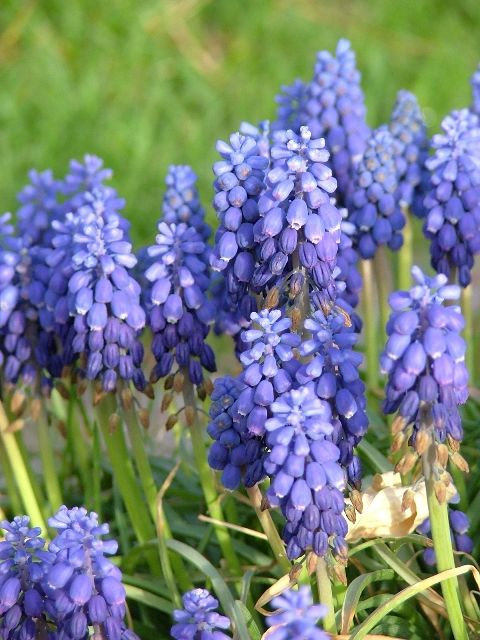 2c24dd167 NOW APPEARING: Grape hyacinth works well as a border or scattered ...