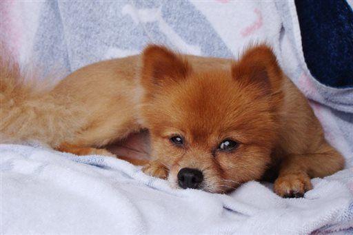 Beaten Pomeranian