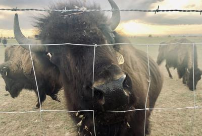 Colorado rancher raises bison to sell and to be part historical educational program