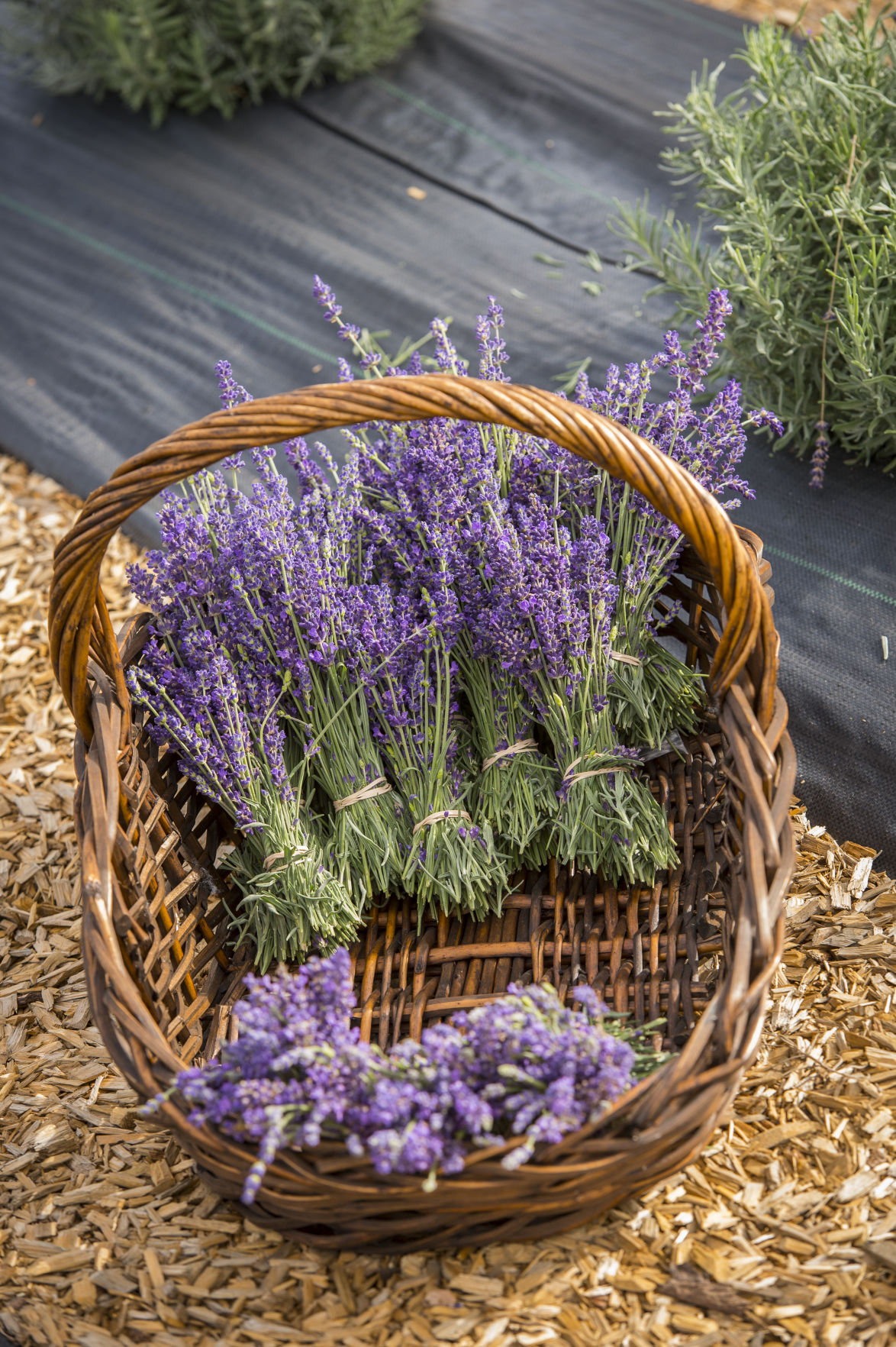 071819-lavender 3.jpg