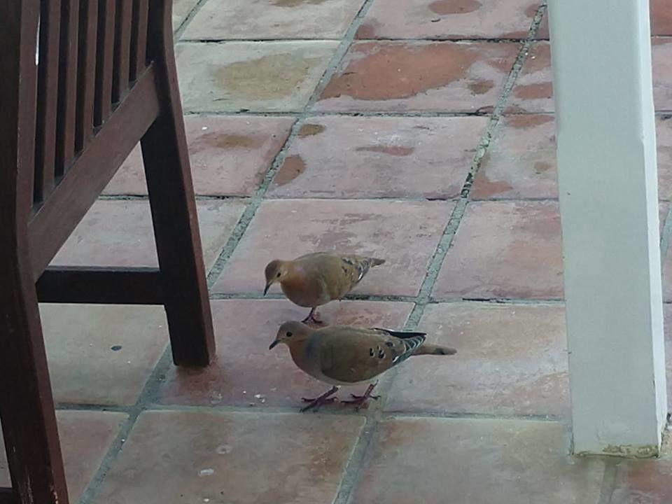 Purple doves in St Lucia