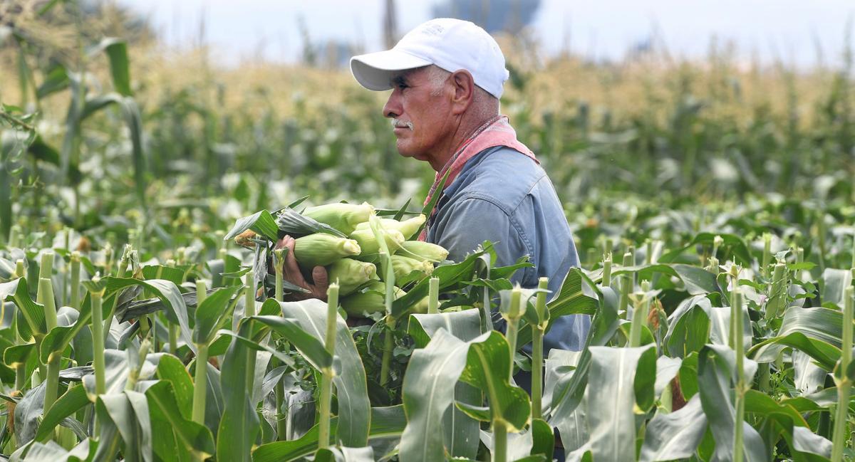 5d44d88345f The magic of Colorado corn