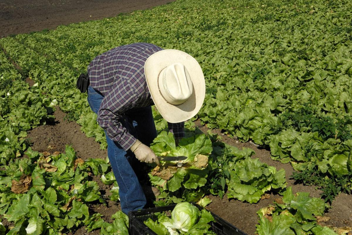 E. coli outbreak spreads as source of tainted lettuce remains a mystery