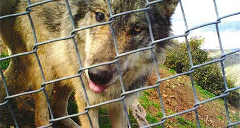 Missing Mexican Wolf