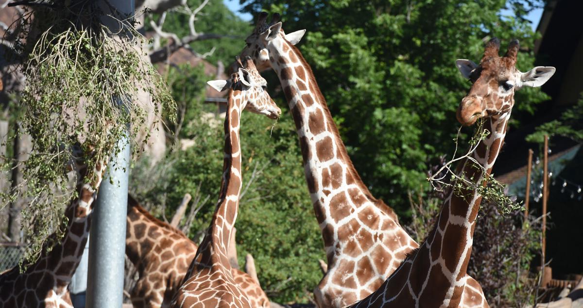 071821-life-giraffes 01.JPG